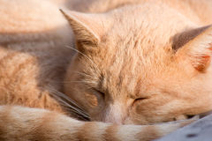 Yellow cats are lazy. Royalty Free Stock Photography