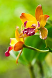 Yellow Cattleya Orchid Stock Images