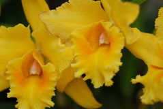Yellow Cattleya orchid flower Royalty Free Stock Images