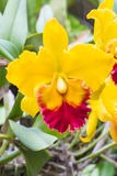 Yellow cattleya orchid Royalty Free Stock Images