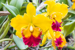 Yellow cattleya orchid Royalty Free Stock Photos