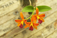 Yellow Cattleya orchid with rough wooden table background Stock Photos