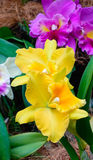 Yellow Cattleya orchids at the Botanic Garden in Singapore Stock Images