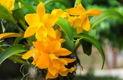 Yellow Cattleya Orchids flowers are blooming. Stock Photos