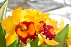 Yellow Cattleya orchids.Sunlight in the morning makes you feel refreshed. Thailand royalty free stock image