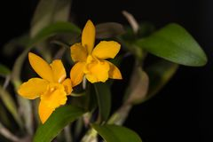 Yellow cattleya with water drop. Isolated on black background stock photography