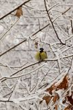 Yellow caucasian titmouse sitting in snowy branches. Front view of Caucasian yellow titmouse with black tie and paws with claws sitting in snowy tree branches in stock photos