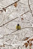 Yellow caucasian titmouse in snowy branches in winter. Yellow Caucasian titmouse with black tie sitting in snowy tree branches in winter royalty free stock photos