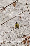 Yellow caucasian titmouse in snowy tree branches in winter. Yellow Caucasian titmouse with black tie and head sitting in snowy tree branches in winter royalty free stock image