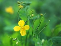 Yellow celandine flower Stock Photo
