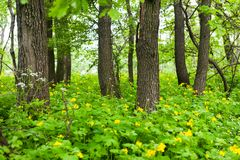 Yellow Celandine flowers. Blooming greater celadine flowers among trees in a green forest Royalty Free Stock Photos