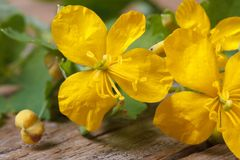 Yellow celandine flowers macro horizontal Royalty Free Stock Photo