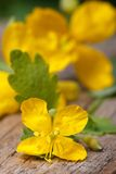 Yellow celandine flowers macro vertical Royalty Free Stock Photo