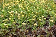 Yellow Celosia argentea flower Royalty Free Stock Image