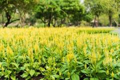 Yellow Celosia argentea Stock Photo