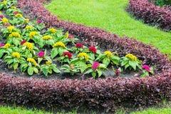 Yellow Celosia argentea Royalty Free Stock Image