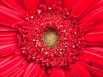 Yellow center of red gerbera flower close up Stock Photo