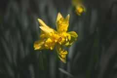 Yellow beuty in a spring daylayght field stock photography