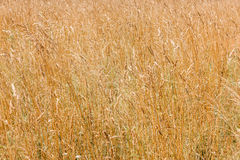 Yellow cereal grass under bright sunlight Stock Image