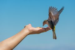 Yellow chaffinch eating peanuts from a womans hand Royalty Free Stock Photos