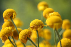 Yellow chamomile Royalty Free Stock Images