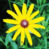 Yellow chamomile Stock Image