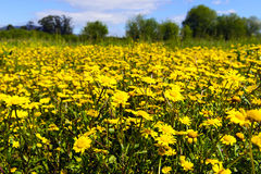 Yellow chamomile field Royalty Free Stock Photos
