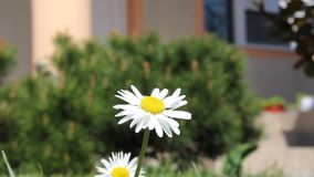 Yellow chamomile flower moving in the wind stock video