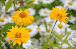 Yellow chamomile flowers Stock Images