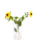 Yellow chamomile in glass Stock Photography
