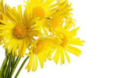 Yellow chamomile isolated on white background Stock Photography