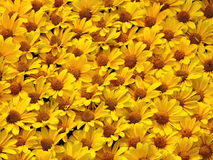 Yellow chamomile pattern Royalty Free Stock Images