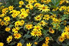 Yellow chamomiles Stock Photo