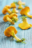 Yellow chanterelle (cantharellus cibarius) Royalty Free Stock Photo