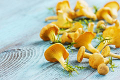 Yellow chanterelle (cantharellus cibarius) Stock Photos
