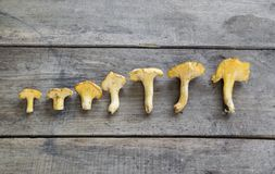 Yellow chanterelle cantharellus cibarius on a rustic wooden ba royalty free stock photos