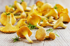 Yellow chanterelle (cantharellus cibarius) on a wooden background Stock Image