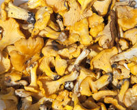 Yellow chanterelle mushrooms background Royalty Free Stock Photography