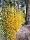 Yellow Chanthaburi Orchid. stock image