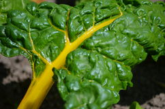 Yellow Chard (Betula vulgaris cicla) Stock Photo