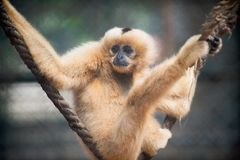 Yellow cheeked gibbon Stock Photography