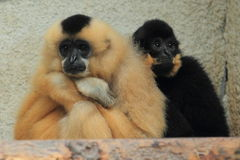 Yellow-cheeked gibbon Stock Photo