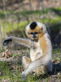 Yellow-cheeked gibbon female Royalty Free Stock Photos