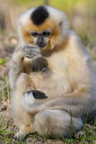 Yellow-cheeked gibbon female stock photo