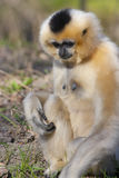 Yellow-cheeked gibbon female Stock Photos