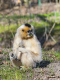 Yellow-cheeked gibbon female Stock Photo