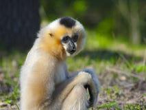Yellow-cheeked gibbon female stock image