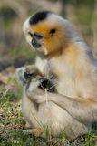 Yellow-cheeked gibbon female Royalty Free Stock Photo