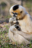 Yellow-cheeked gibbon female Royalty Free Stock Images
