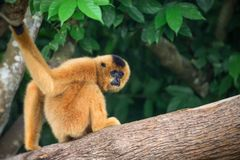 Yellow-cheeked gibbon female, Nomascus gabriellae royalty free illustration